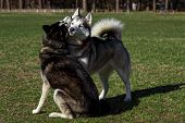 foto of siberian husky  - Black Siberian Husky is sniffing another dog - JPG