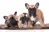 stock photo of french bulldog puppy  - three beige french bulldog puppies together on white - JPG