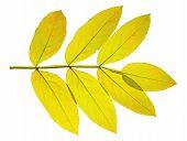 stock photo of ashes  - The yellow autumn leaf ash on white background - JPG