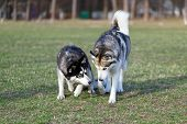 image of domination  - Two Siberian Husky is strolling next to each other - JPG