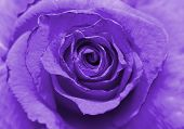 picture of rose close up  - Close up image of beautiful violet rose  - JPG