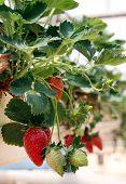pic of greenhouse  - Hanging method of growing strawberries in greenhouses - JPG