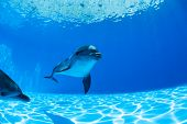 image of dolphins  - Dolphins couple swims under the water and looking at the camera - JPG