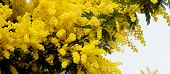 picture of mimosa  - Beauty Yellow Lush Foliage Flowering Mimosa with Leafs closeup on Cloudy Sky background - JPG