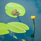 picture of ponds  - Frog sitting on leaf with lily in the pond - JPG