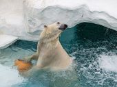 picture of polar bears  - smart polar bear plays with orange Ball in blue cold water  - JPG