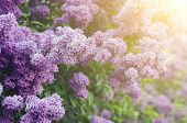 picture of sunshine  - Branch of lilac flowers with the leaves - JPG