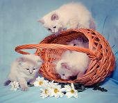 picture of inverted  - kittens play near the basket next to the inverted daisies - JPG