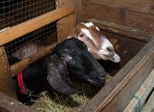 picture of nubian  - Two Nubian black and brown female goat in barn - JPG