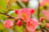 stock photo of fukushima  - Perfect blossom - JPG