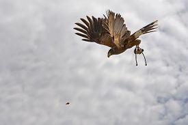 image of hawk  - A Harris hawk is the only hawk known to hunt in packs which makes it ideal for falconry or hawkery - JPG