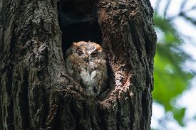 picture of screech-owl  - Eastern Screech Owl perched in the hollow of a tree - JPG