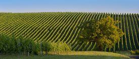 foto of bordeaux  - Vineyard Sunrise  - JPG