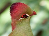beautiful tropical bird - Fischers turaco (Tauraco fischeri) poster