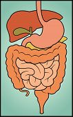 stock photo of small-intestine  - A colorful - JPG