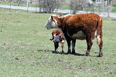 foto of hereford  - Hereford cow and calf standing in a green grass covered pasture - JPG