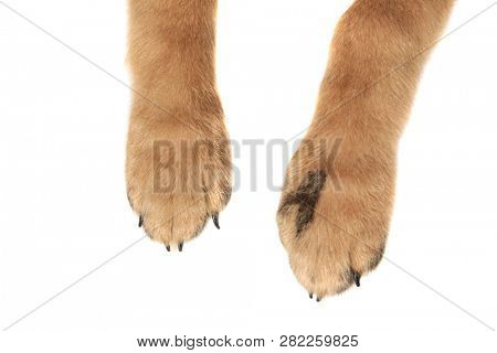poster of close up of adorable dog paws with claws resting on white background