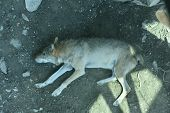 Gray Wolf In The Zoo. Wolf View From Above, Lies On The Ground poster