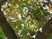 Viewing Through Autumn Leaves Of Persimmon Tree . Fall Colors poster