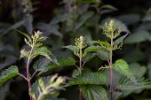 Wild Plant Nettle On The Blurred Dark Green Backgroud. Close Up. Stinging Nettle Or Urtica Dioica poster