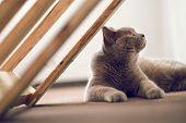Purebred British Shorthair Cat Indoor Portrait poster