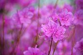 Rhododendron Mucronulatum Korean Rhododendron flower close up. Seoul, South Korea poster
