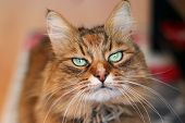 A Green Eyed Golden Fluffy Cat With A Grumpy Expression poster