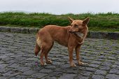 Adorable Red Mixed Breed Canine Looking Over His Shoulder. poster