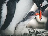 Close-up adult and baby penguins. Antarctica wildlife. The mother penguin cares about the child. Whi poster