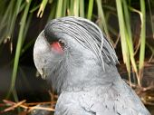 picture of palm cockatoo  - cocky  - JPG