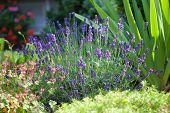 Lavender In The Frontage Garden