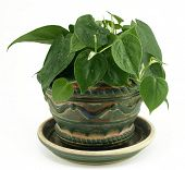 Potted Philodendron Houseplant On White
