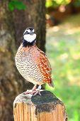 pic of quail  - Northern Bobwhite  - JPG
