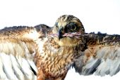 pic of embalming  - Portrait of hawk while eating his prey - JPG