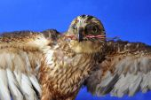 foto of embalming  - Portrait of hawk while eating his prey over blue