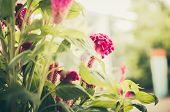 stock photo of celosia  - Celosia or Wool flowers or Cockscomb flower in the garden or nature park vintage - JPG