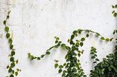 pic of climber plant  - A climber plant on old concrete wall - JPG