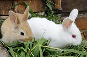 image of rabbit hutch  - Two of the rabbit white and red hair sitting on the mown grass  - JPG