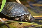 picture of turtle shell  - Cute little turtle on a rock in water - JPG