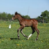 picture of fillies  - Beautiful brown filly on spring pasturage alone - JPG
