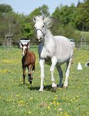 image of mare foal  - Beautiful mare running with its foal on flowering pasturage - JPG