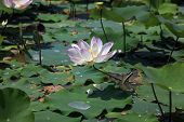 pic of lillies  - Pink water lilly  - JPG