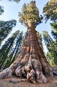 stock photo of sequoia-trees  - General Sherman - the largest tree on Earth Sequoia National Park California.