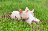 pic of piglet  - Cute piglets standing and nudging on grass - JPG