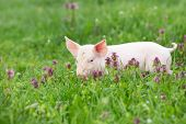 stock photo of piglet  - Cute pink piglet walking on grass in spring time  - JPG