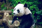 foto of panda  - Hungry giant panda bear eating bamboo - JPG