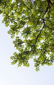 image of walnut-tree  - Green branches of the walnut tree against the white cloudy sky background - JPG