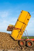 stock photo of sugar industry  - A yellow hydraulic dumper dumps sugar beets on a heap beside the field awaiting transport to the sugar factory.