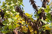 picture of judas tree  - dry beans of judas tree in fall - JPG