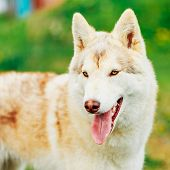 picture of husky  - White Adult Siberian Husky Dog  - JPG